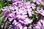 Phlox sublata 'Purple Beauty'