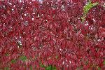 Wilde Wingerd 'Parthenocissus Quinquefolia' 50-60 cm
