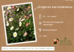 Erigeron karvinskianus - muurfijnstraal/Mexicaans madeliefje