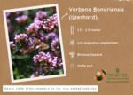 Verbena Bonariensis - ijzerhard