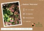 Sedum Matrona - muurpeper