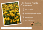 Rudbeckia Fulgida 'Goldsturm' - zonnehoed