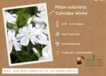 Phlox sublata 'Calvides White'