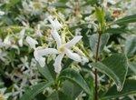 Toscaanse jasmijn 'Trachelospermum Jasminoides' 80-100 cm