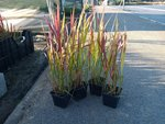 Imperata Cylindrica 'Red Baron' - japans bloedgras 'impérate' - extra kwaliteit