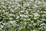 Boekweit 'Fagopyrum esculentum' - groenbemester - Bio zaden
