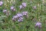 Phacelia tanacetifolia - Groenbemester - bio zaden