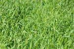Japanse haver 'Avena strigosa' - groenbemester - Bio zaden
