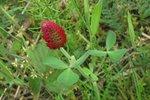 Incarnaatklaver 'Trifolium incarnatum' - groenbemester - Bio zaden