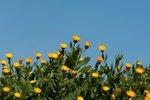 Akkergoudsbloem 'Calendula arvensis' - Bio bloemenzaden