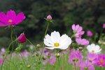 Cosmea, gemengd 'Cosmos bipinnatus' - Bio bloemenzaden