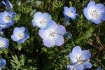 Bosliefje 'Nemophila menziesii' - Bio bloemenzaden