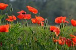 Gewone klaproos 'Papaver rhoeas' - Bio bloemenzaden