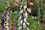 Vingerhoedskruid, gewoon 'Digitalis purpurea' - Bio bloemenzaden
