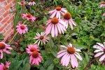 Rode zonnehoed 'Echinacea purpurea' - Bio bloemenzaden