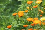 Goudsbloem 'Calendula officinalis' - Bio bloemenzaden