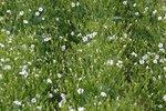 Koekruid, wit 'Vaccaria hispanica' - bio bloemenzaden