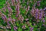 Salie 'Salvia officinalis' - bio bloemenzaden