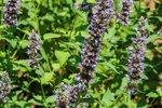 Agastache ' Black Adder' - dropplant/anijsplant