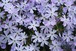 Phlox sublata 'Esmerald cushion blue'