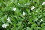 Vinca Minor Alba 'kleine witte maagdenpalm' - WIT