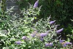 Buddleja Davidii 'Lochinch' - vlinderstruik