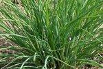 Fijne bieslook 'Allium schoenoprasum' - Bio tuinkruiden