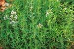 Zomertijm 'Thymus vulgaris' - Bio tuinkruiden
