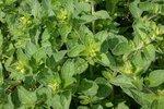 Wilde marjolein/oregano 'Origanum vulgare' - Bio tuinkruiden