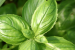 Basilicum 'Genovese' 'Ocimum basilicum' - Bio tuinkruiden