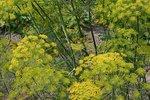 Dille 'Anethum graveolens' - Bio tuinkruiden