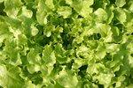 Eikenbladsla 'Salad Bowl' – Lactuca sativa - Bio groentezaden