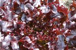 Rode Eikenbladsla 'Red Salad Bowl' – Lactuca sativa - Bio groentezaden