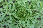 Rucola 'Esmee' Eruca sativa - Bio groentezaden