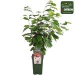 Corylus Rode Zellernoot - Hazelnoot - Bio fruitplant