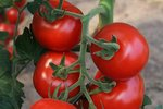 Tomaat 'Bolstar Granda' – Solanum lycopersicum - Bio groentezaden