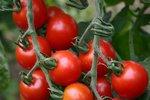 Cherrytomaat 'Zuckertraube' – Solanum lycopersicum - Bio groentezaden