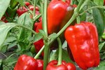 Blokpaprika 'Jubilandska' – Capsicum annuum - Bio groentezaden