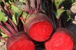Rode biet 'Kogel 2' – Beta vulgaris - Bio groentezaden