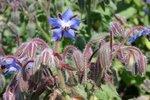 Komkommerkruid – Borago officinalis - Bio bloemenzaden