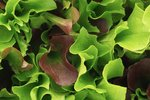 Mesclun 'Puur Sla' (slamix) – Lactuca sativa - Bio groentezaden