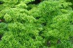 Peterselie 'Moskrul 2' – Petroselinum crispum - Bio tuinkruiden