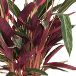 Calathea Stromanthe Triostar(Calathea Stromanthe Triostar)