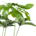 Philodendron Green Wonder(Philodendron Green Wonder)