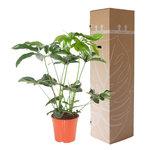 Philodendron Green Wonder(Philodendron Green Wonder)