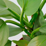 Philodendron Hastatum(PHIHAS17)