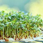 Tuinkers - Bio kiemgroenten