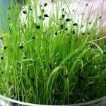 Chinese bieslook - Bio kiemgroenten