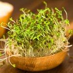 Alfalfa - Bio kiemgroenten