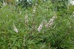 Vitex agnus-castus Albus (wit) 'Monnikenpeper' 30-50 cm